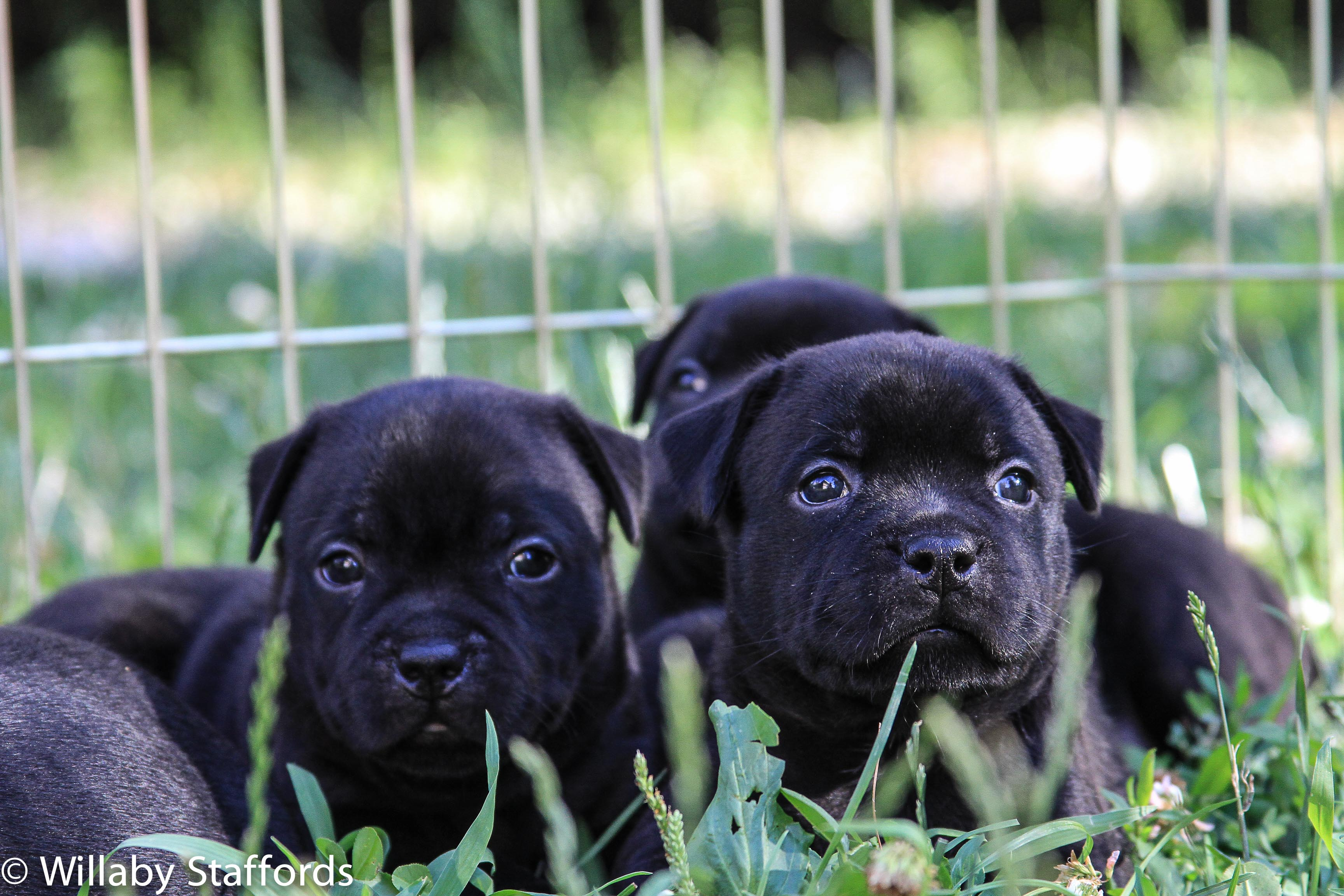 Puppies in Grass